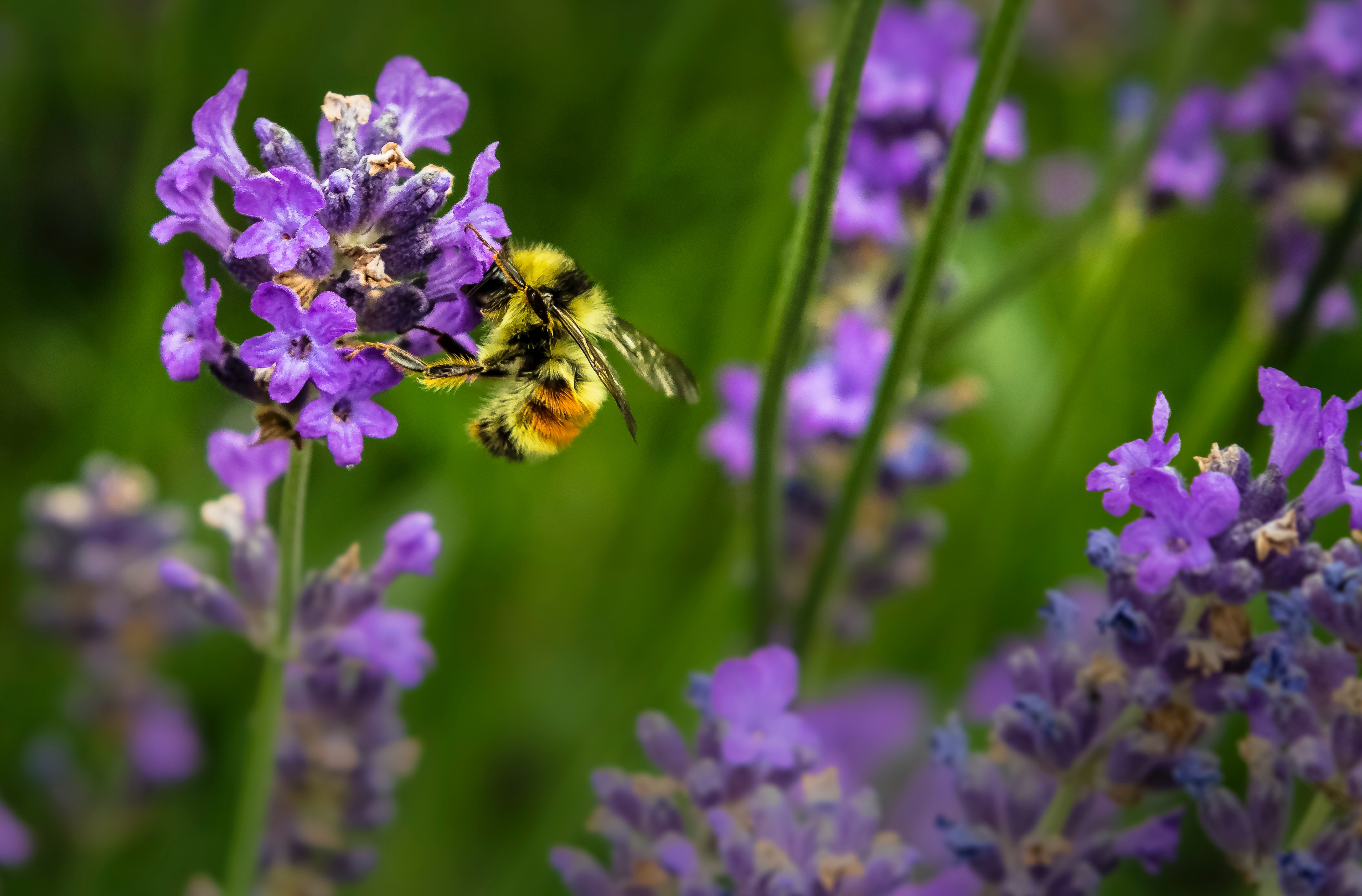 Bee pollinates wildflowers.
