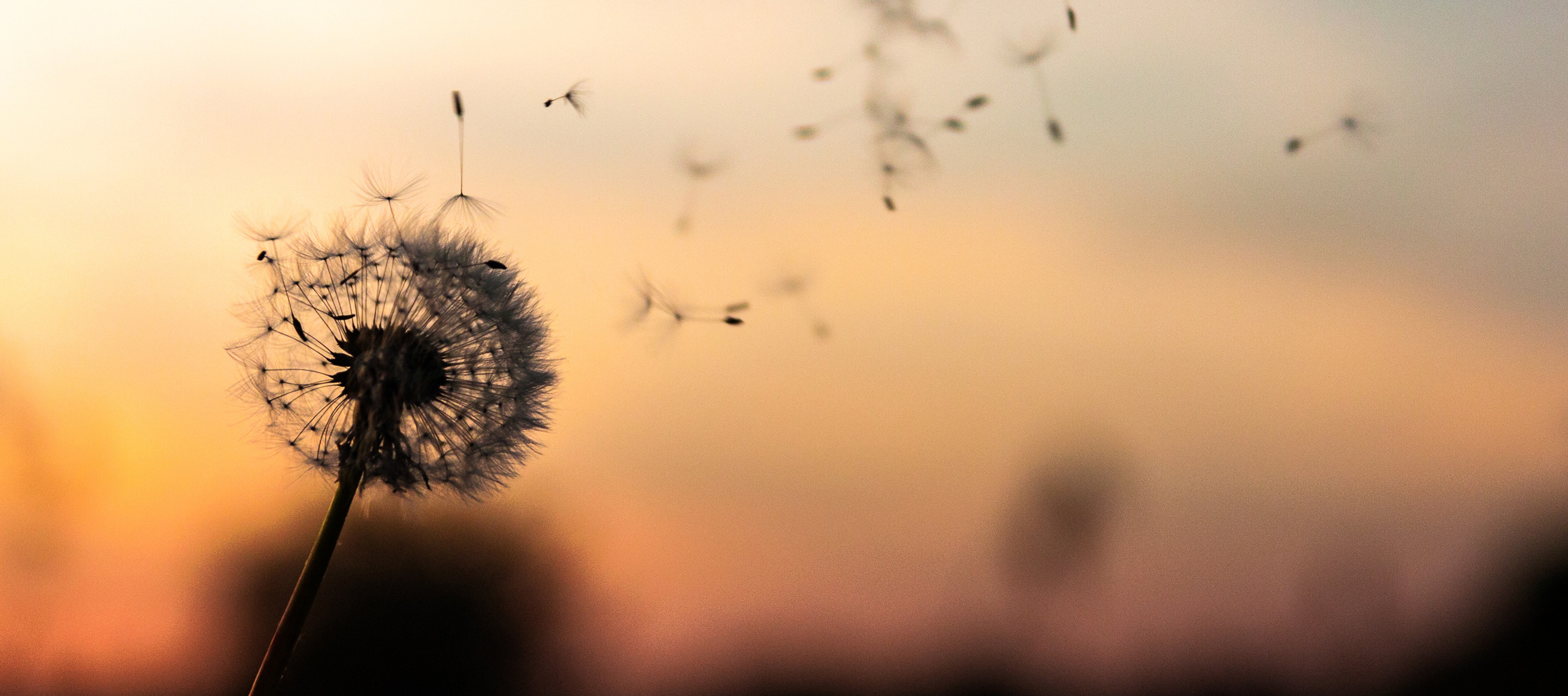 The wisps of a dandelion remind us to live mindfully.