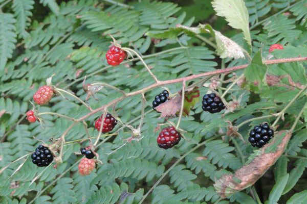 Wild blackberries hang in various states of ripeness in front of a green canopy-style leaf in the forest.