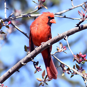 Cardinal Bird in tree