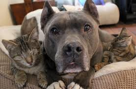 A pitbull snuggling with some kittens